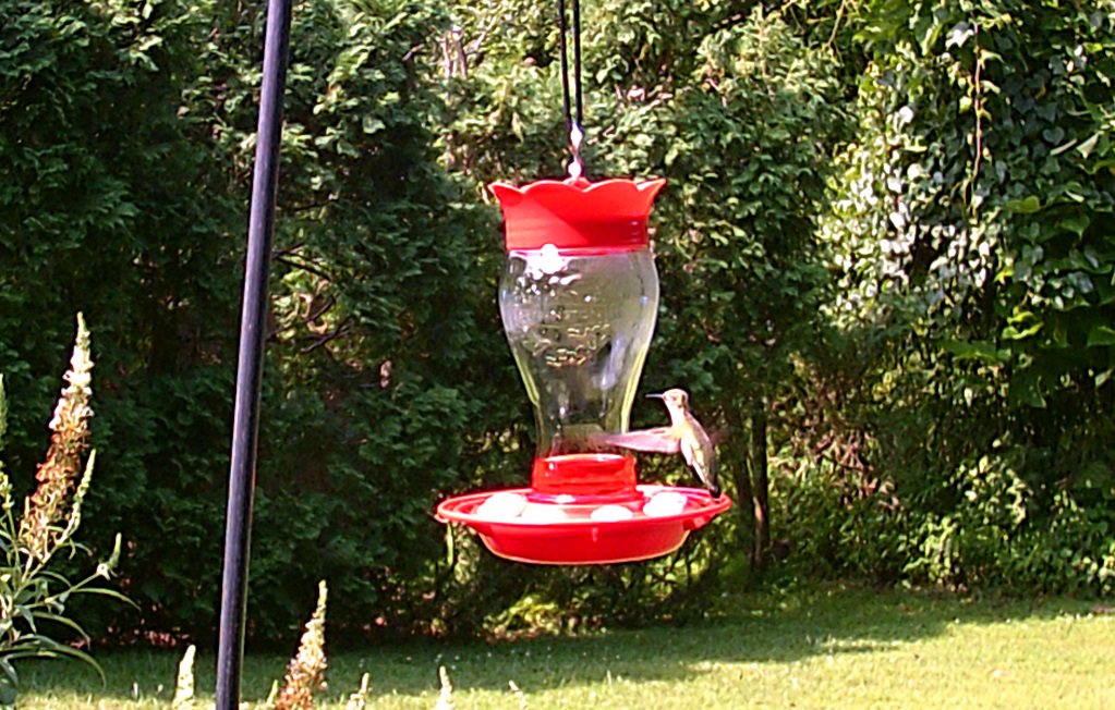 Ruby-throated hummingbird caught on the #trailcam.  Not as clear as I would like, but I finally got some pictures #birds #birdwatching #wildlifephotography #nature