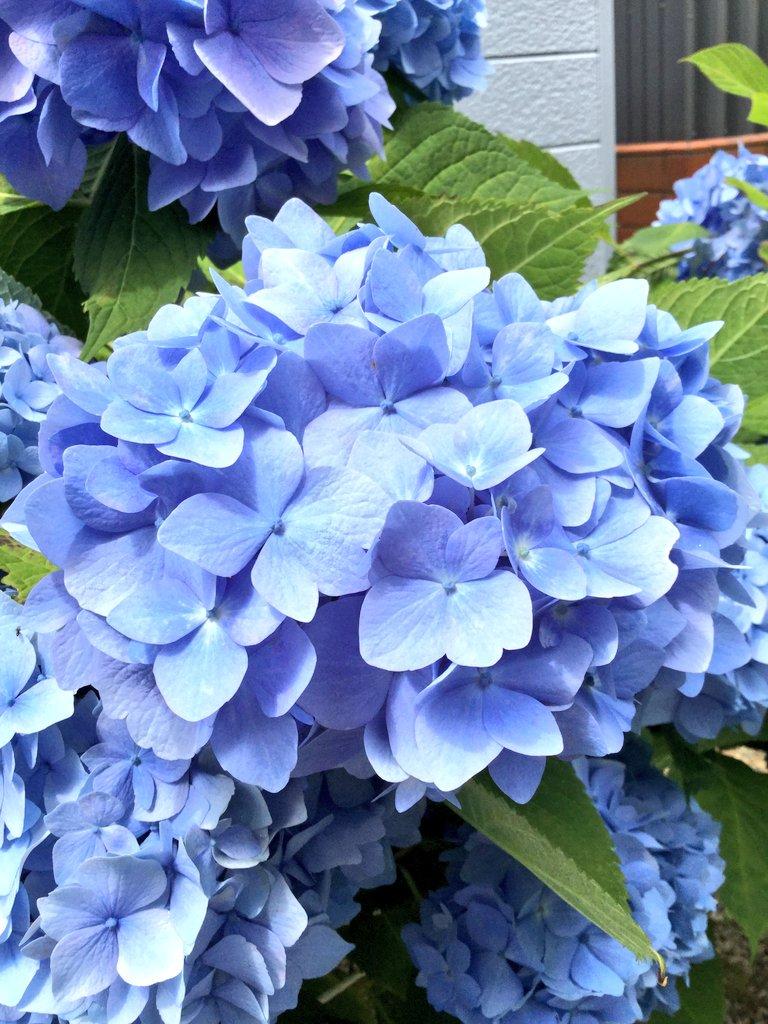 いつも見て頂きありがとうございます💕 いいねRTのお礼が全くできていません。本当にすみません😣 ♥️下さる方には感謝の気持ちでいっぱいです。 📷はいつもの自宅の紫陽花です😅 今日も一日お疲れさまでした✨ #花 #あじさい #花が好き #スマホ写真 #ファインダー越しの私の世界 #北海道