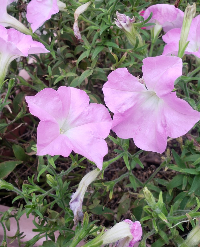 こんばんは。(^^)  おやすみなさい。😌🌃💤 良い夢を~。🌝🌙✨🌝🌙✨  (写真は縦構図です。🌿)  #花 #flower  #おやすみなさい #goodnight #良い夢を #haveagooddream