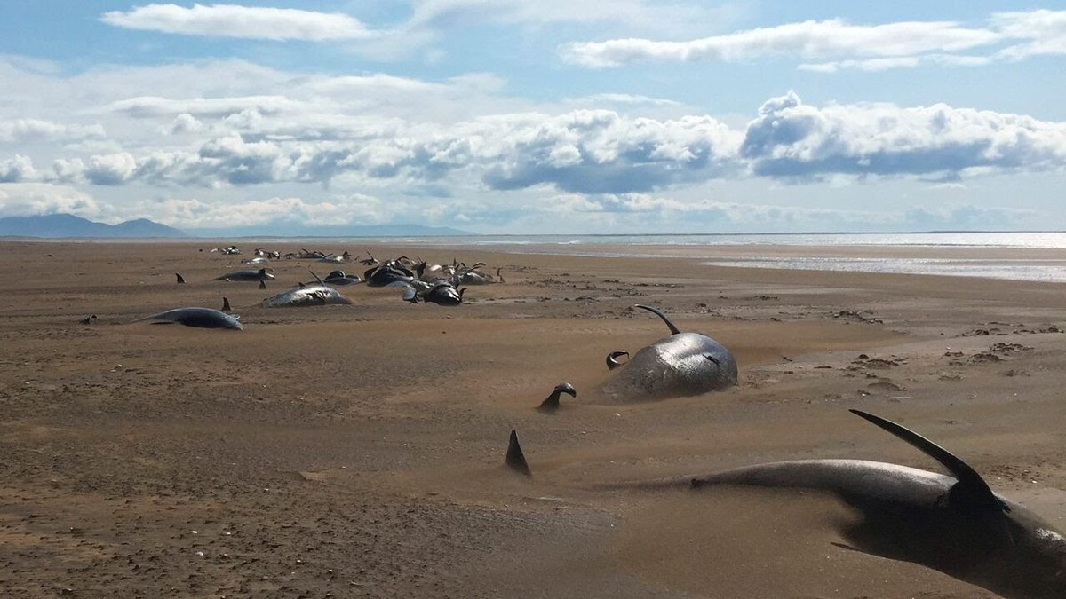 57 Pilot Whales strand on remote Iceland Beach. All over the world #whales are dying enmasse.