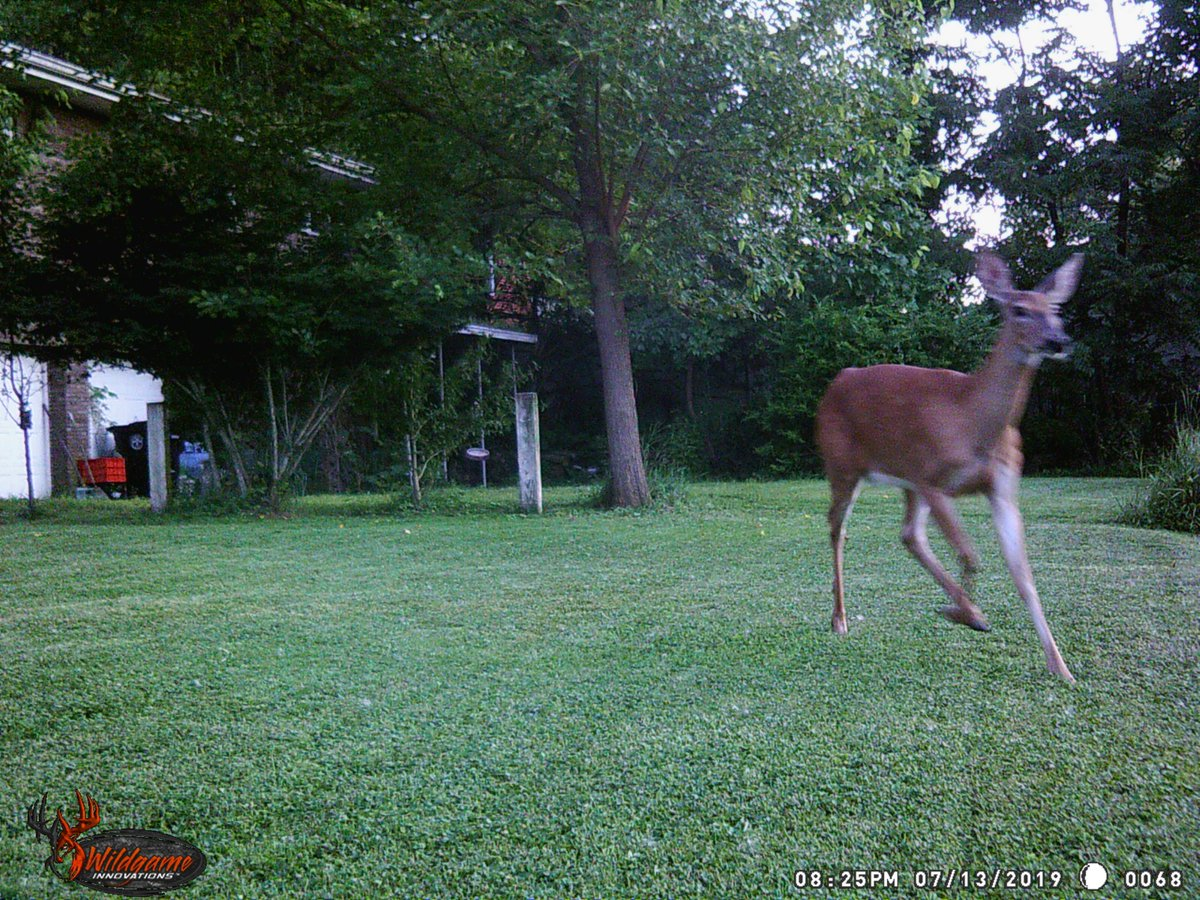 Doe running through the yard from two angles.  Not sure what she was running from, nothing else showed up on camera after her. #trailcam