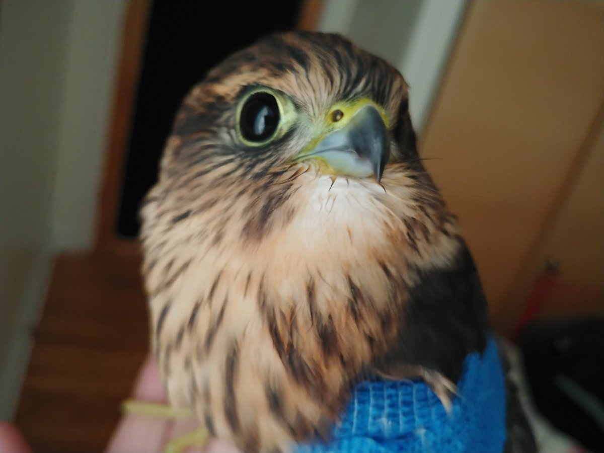 This injured Merlin had the honour of becoming the first #ottbird to ride across the new #FloraFootbridge with @birdbike613 yesterday. Hope your wing heals soon, little falcon.<br>http://pic.twitter.com/JZqN2qvFYB