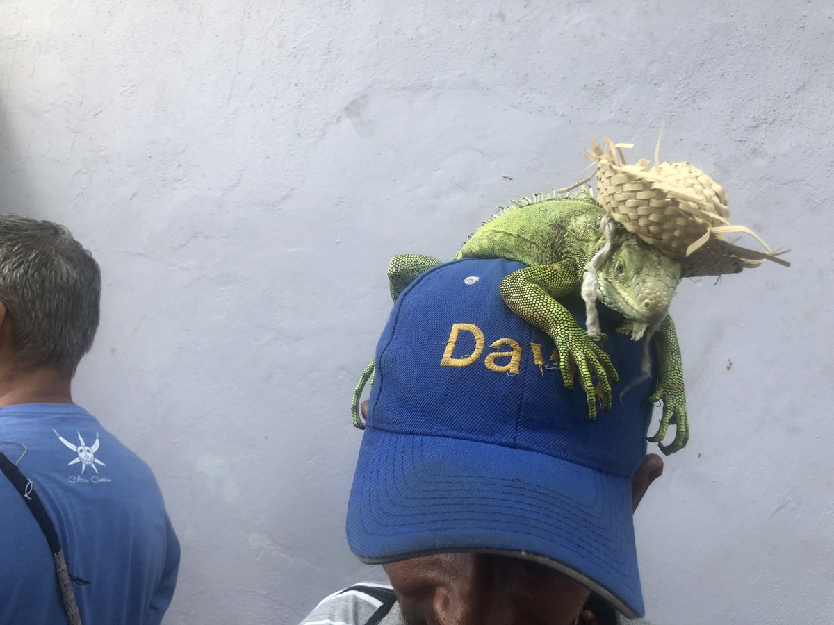 There is a protest iguana and its name is Don Luis, thank you for asking