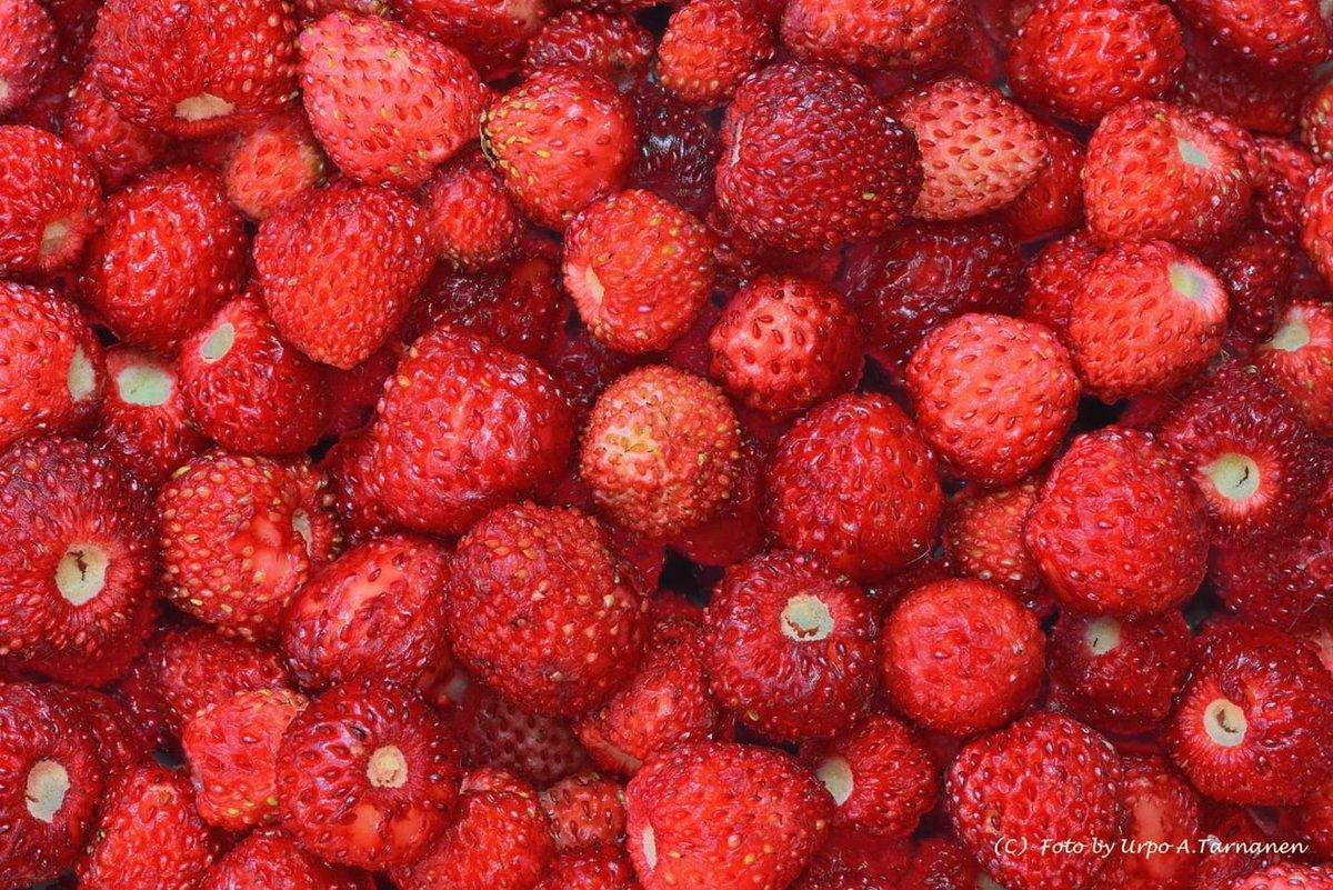 Dont you love wild strawberries? 😍 Photo Urpo Tarnanen #Norway #foraging #berries