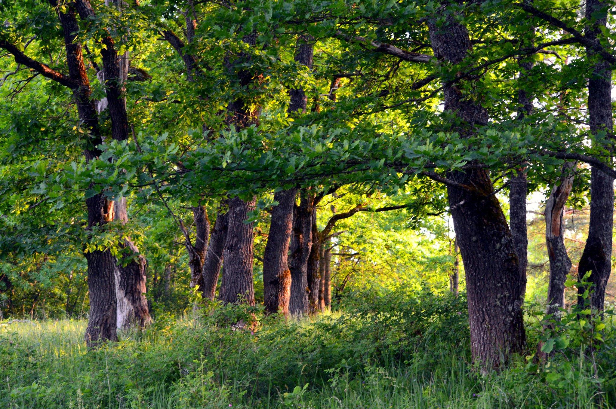 девушке розочке, дубовый лес фото участвует кинопроектах