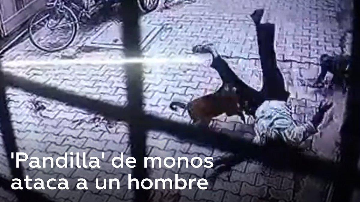 Un grupo de monos ataca a un hombre que volvía a casa