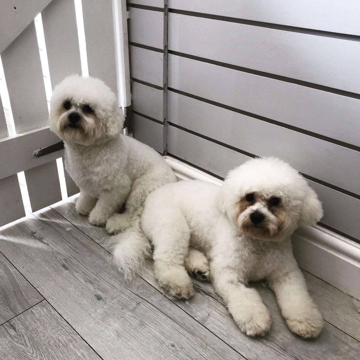 Cuteness Overload  Bertie & Bobby    #DogGroomer #DogGrooming #Bichon #BichonFrise #Puppies #Dogs #DogSpa #DogGroomingSalon #DogOfTheDay #DogLovers #NEFollowers #DogsOfTwitter #NewcastleUponTyne<br>http://pic.twitter.com/1RpeybpWWf