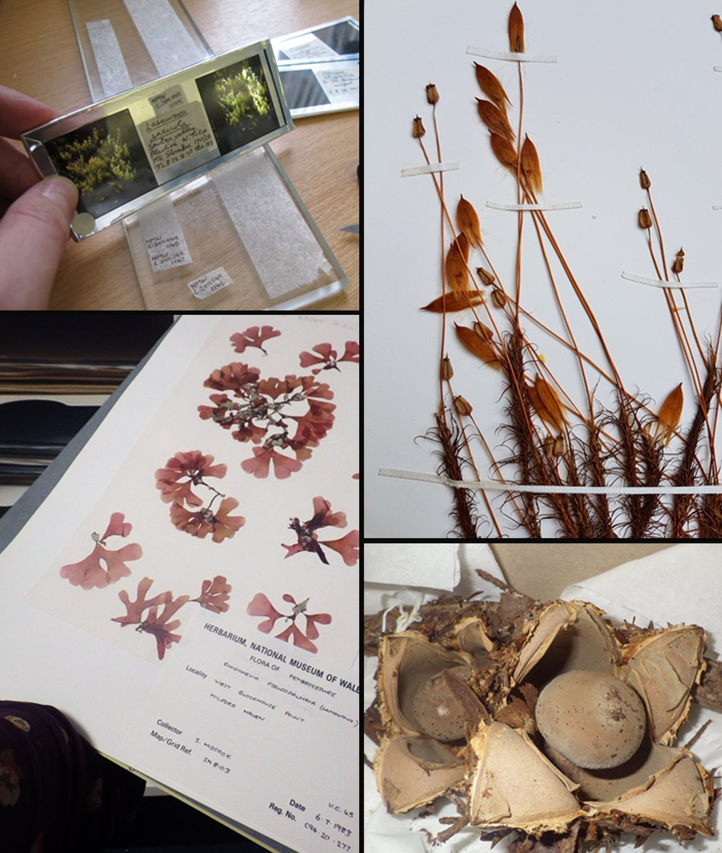 The botany collections @Museum_Cardiff don't just cover ferns and flowers. There are also mosses, fungi, seaweed and even 3D slides. Each specimen is unique and extremely valuable to scientists studying changes in our climate and wildlife. #BotanicMonday <br>http://pic.twitter.com/H9UUZCCmwo