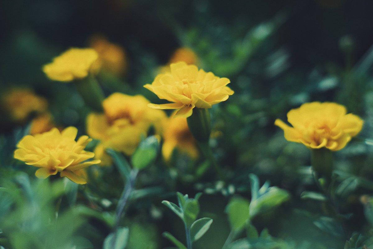#marigold #VSCO #photography https://t.co/4IdSxvJfTr