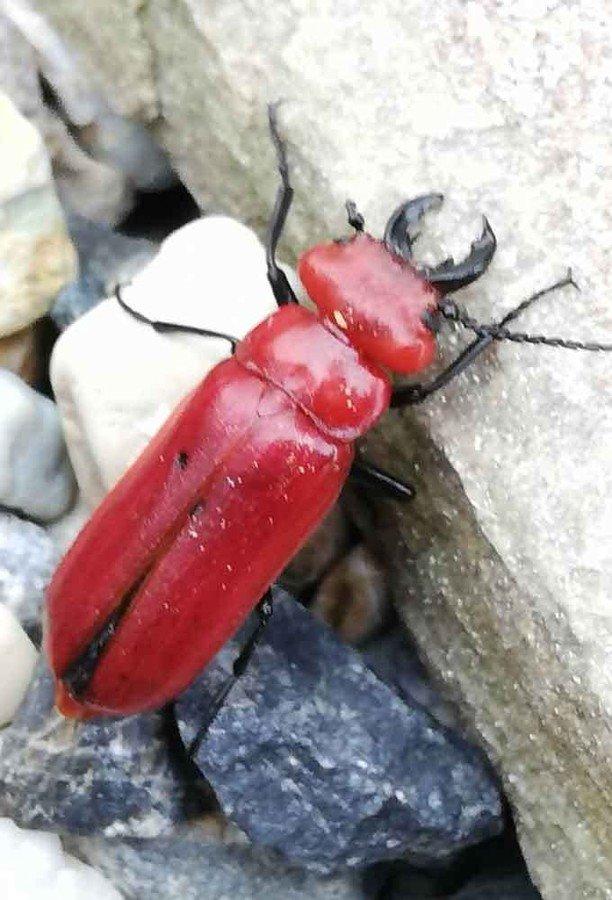危険生物「赤いクワガタ」要注意 生息域が拡大、体液でかぶれ  触ると水ぶくれなどの症状を引き起こすヒラズゲンセイが京都や滋賀へ生息域を拡大。体調2,3cmほど。もともと関西にはいなかったが、近年になって生息北限を広げている。