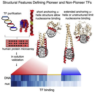 Structural features of transcription factors associating with nucleosome binding https://t.co/3gTeqtljEl Screened 593 human TFs against different nucleosome sequences, followed by confirmation in solution. Thread by the author here  #TFbinding #TFnucleosome