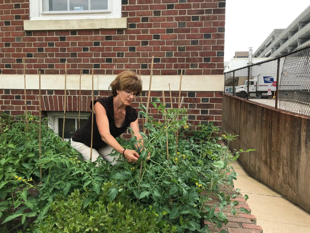 That's Cindy Merrick, our donor services officer, staking tomatoes in our little garden right in front of our office at 43 Field Street in #Waterbury. Swing by and grab a pepper, eggplant, tomato or sprig of thyme or sage! <br>http://pic.twitter.com/hVqADoEvGk
