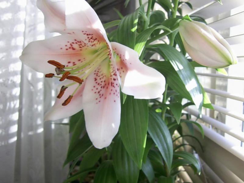 Домашние лилии картинки