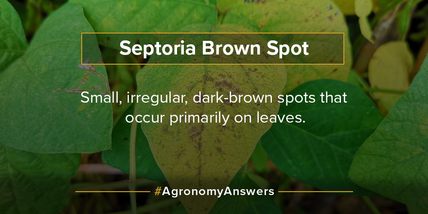 Do you know the symptoms of septoria brown spot and other