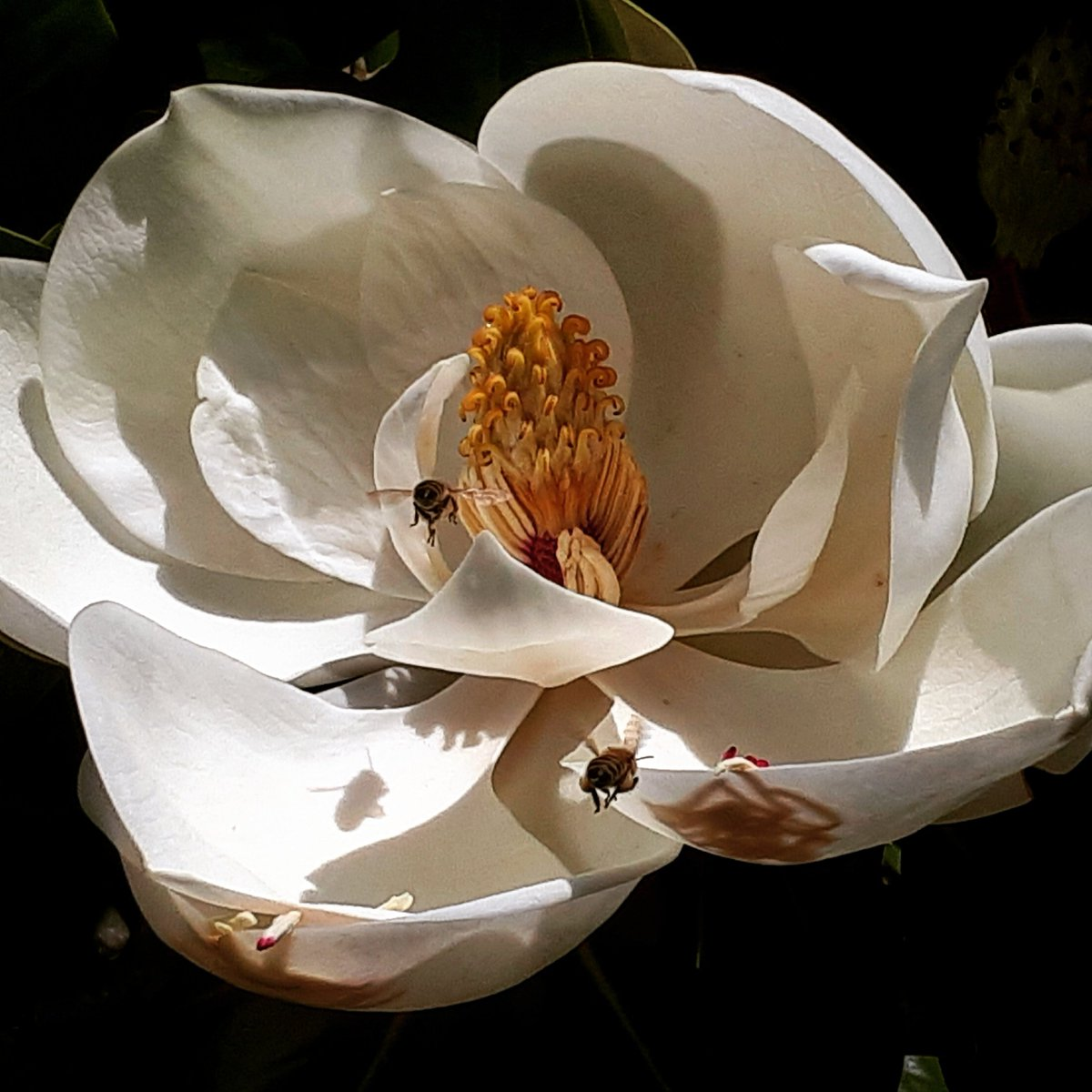 Bees flying over a lovely magnolia flower. I just had to take a pic! #Eugene #Oregon