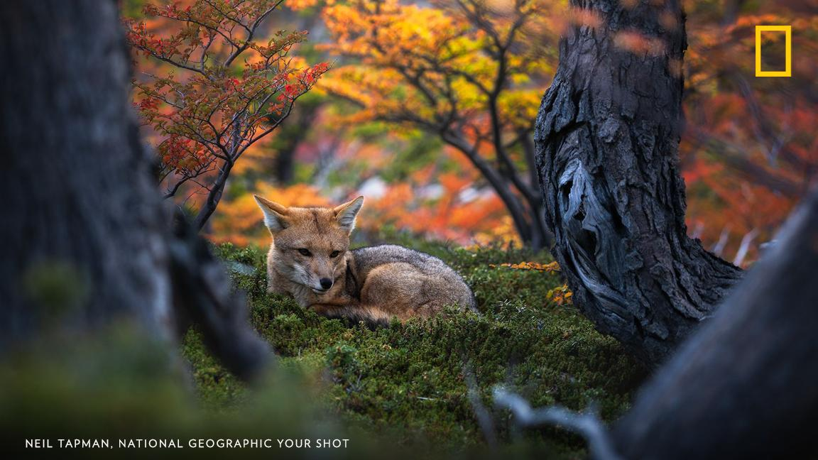 Your Shot photographer Neil Tapman photographed this Patagonian fox near El Chalten, Argentina https://t.co/UtA8NLvglF https://t.co/QBGEipBOrI