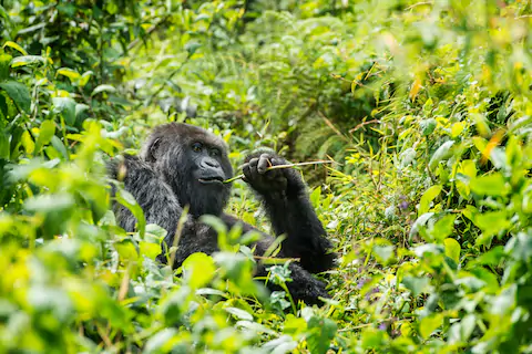 Explore the natural beauty of Rwanda - Volcanoes National Park the unique gorilla trekking safaris in Africa with Hermosa Life Tours and Travel #VisitRwanda #Rwandalicious