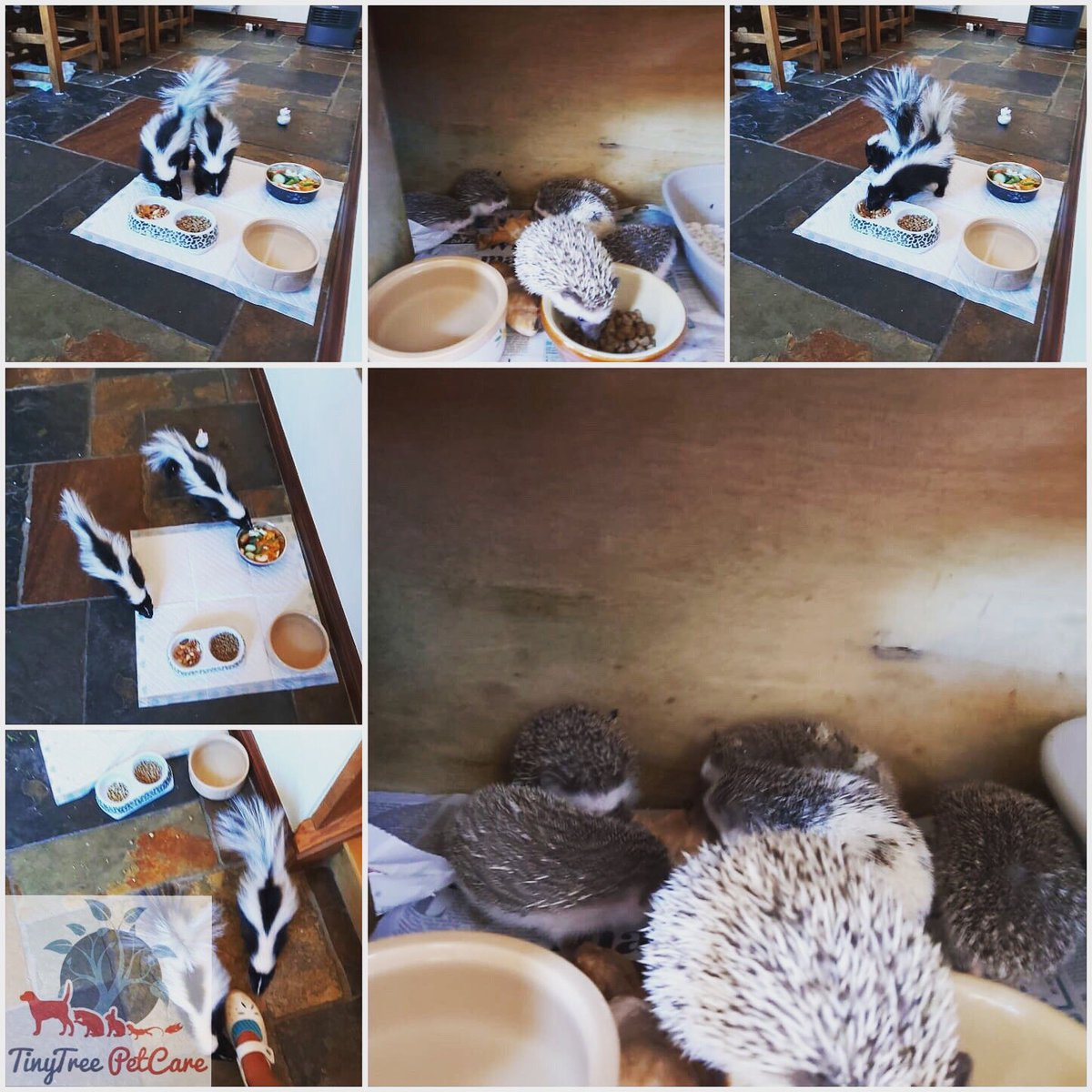Home visits for skunks and hedgehogs today! #skunks #hedgehogs #petsoftwitter #homevisit #petcare #petsitting