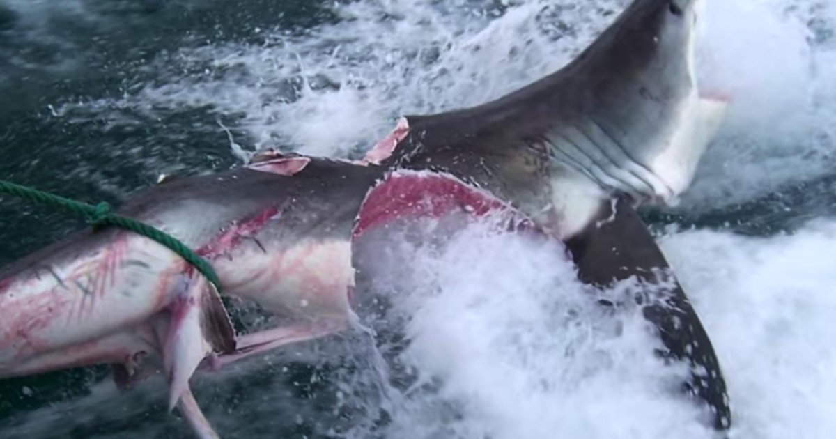 Absolutely Insane Video Of A Great White Shark Getting BIT IN HALF By Another Great White https://www.barstoolsports.com/barstoolu/absolutely-insane-video-of-a-great-white-shark-getting-bit-in-half-by-another-great-white…