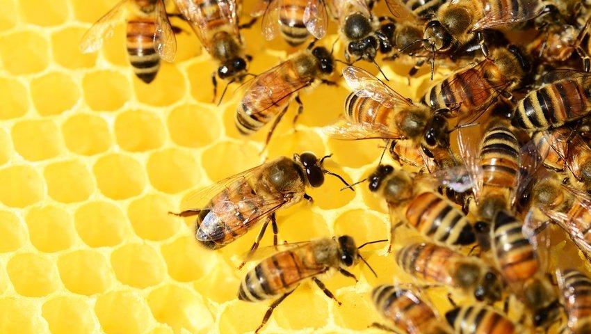 Jak duży jest kutas pszczół
