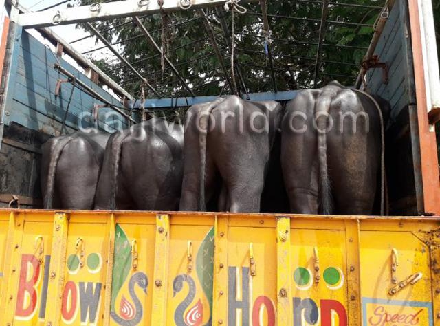 ಸಾಸ್ತಾನ : 13 ಕೋಣ 7 ಎಮ್ಮೆ ಸಾಗಿಸುತ್ತಿದ್ದ ಲಾರಿ, ಕಾರು ವಶ - ಆರು ಮಂದಿ ಬಂಧನ  - http://bit.ly/2LSzato