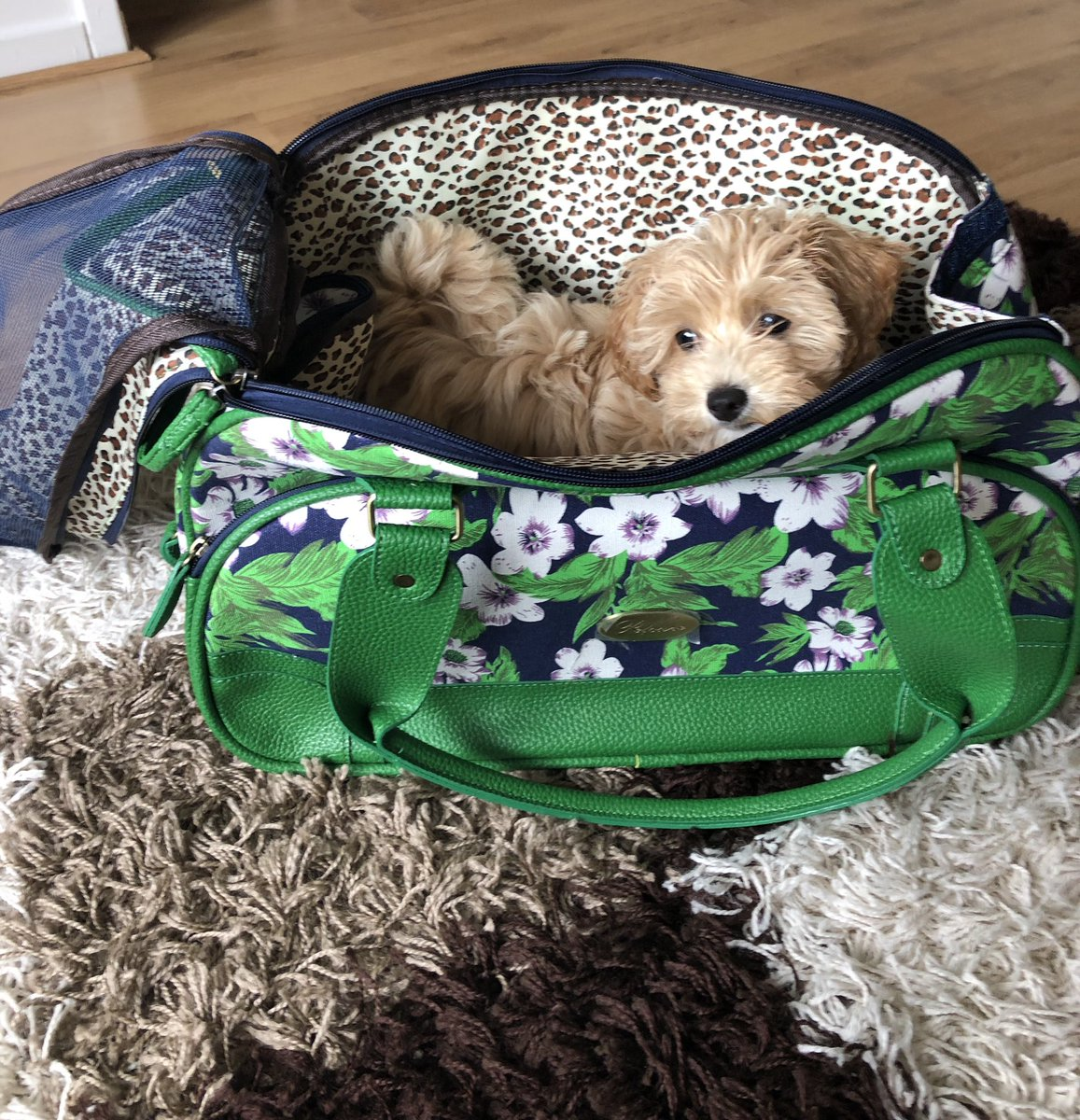 Lola loves her new pet carrier! 😍 Thanks @UrbanPup 💕 #LittleLola #Maltipoo #MaltipooPuppy