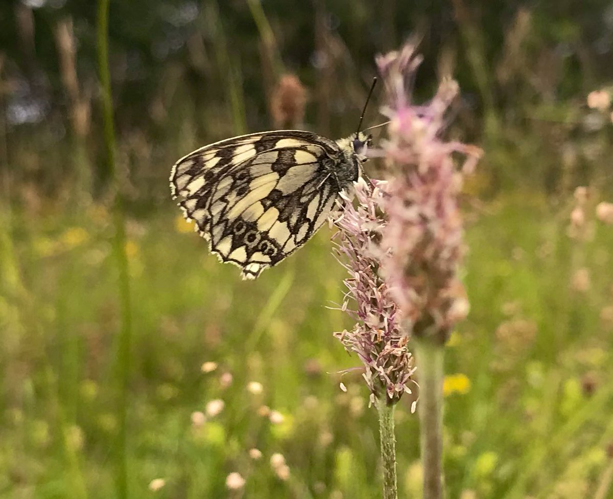 In Lincolnshire the marbled white is a rare butterfly. Here's one on a roadside nature reserve in the south of the county. <br>http://pic.twitter.com/hFlBKbLU8K