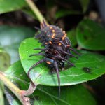 Image for the Tweet beginning: The pipevine caterpillar undergoes quite