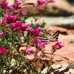 Image for the Tweet beginning: This white-lined sphinx moth flies