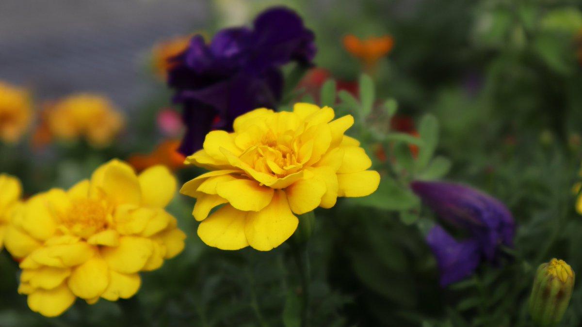 マリーゴールドが綺麗でした。 #マリーゴールド #花 #みなとみらい21 #桜木町 #横浜  Marigold #mm21 #Yokohama #Japan #marigold #flower https://t.co/f1bk5wM1qi