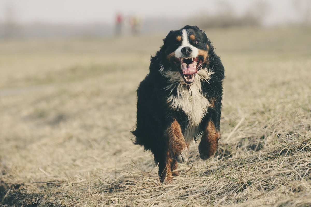 Does Your🐶Come When you Call? It could save your dog's life! - https://mailchi.mp/0acf9d8643c8/does-yourcome-when-you-call…  #recall #come #dogtraining #foco #noco #fortcollins #loveland #timnath #wellington #windsor #dogs #class