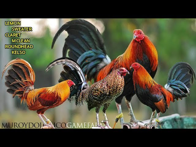 Gamefowl tagged Tweets and Downloader | Twipu