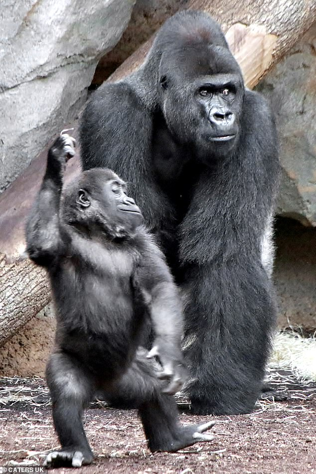 She really IS the king of the swingers! Baby gorilla shows off her moves in Frankfurt Zoo (though dad doesn't look very impressed) 2-yo baby #gorilla Wela can be seen strutting her stuff as Dad watches  Photos were snapped by travel agent Sigrid Nobel at #Frankfurt Zoo, Germany