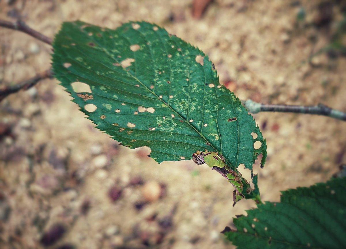 ⚠️🐛⚠️ 虫注意なんだけど、モンクロギンシャチホコっていう蛾の幼虫の擬態が素晴らしいから見てほしいな。