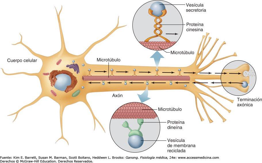 fibras nerviosas del sistema nervioso periferico