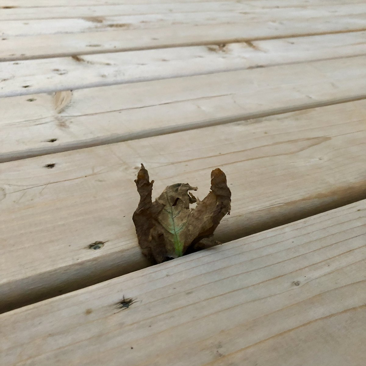 The leaf in my deck has finally surrendered.  #SundayMorning  #SundayThoughts<br>http://pic.twitter.com/EvzZe8aszJ