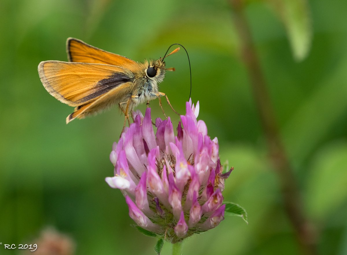 Skippers. #trenchwood 14.7.19 My thoughts are:- 1&2 Small Skipper. 3&4 Essex Skipper.  Confirmation would be appreciated  @WestMidlands_BC @savebutterflies @WorcsWT @butt <br>http://pic.twitter.com/BsOPjwSztn