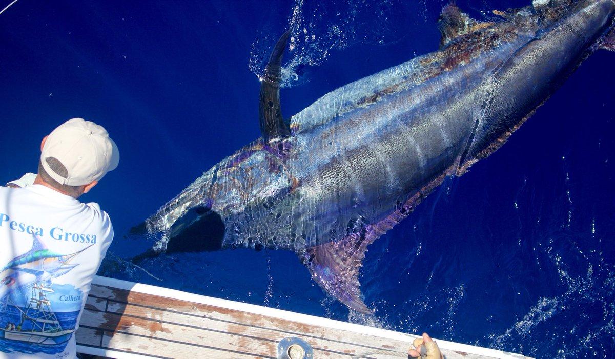 Madeira - Capt. Frothy de Silva on Pesca Grossa released a Blue Marlin (650).