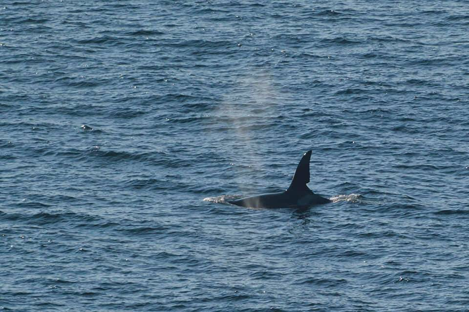 After 50 years @LoopHeadTourism  still never fails to blow me away, spent the evening watching two killer whales, John Coe & Aquarius, swim by @lightontheloop as they made their way south.  Photo credit  https://www. carstenkrieger.photography     <br>http://pic.twitter.com/RDwzXrGs7W