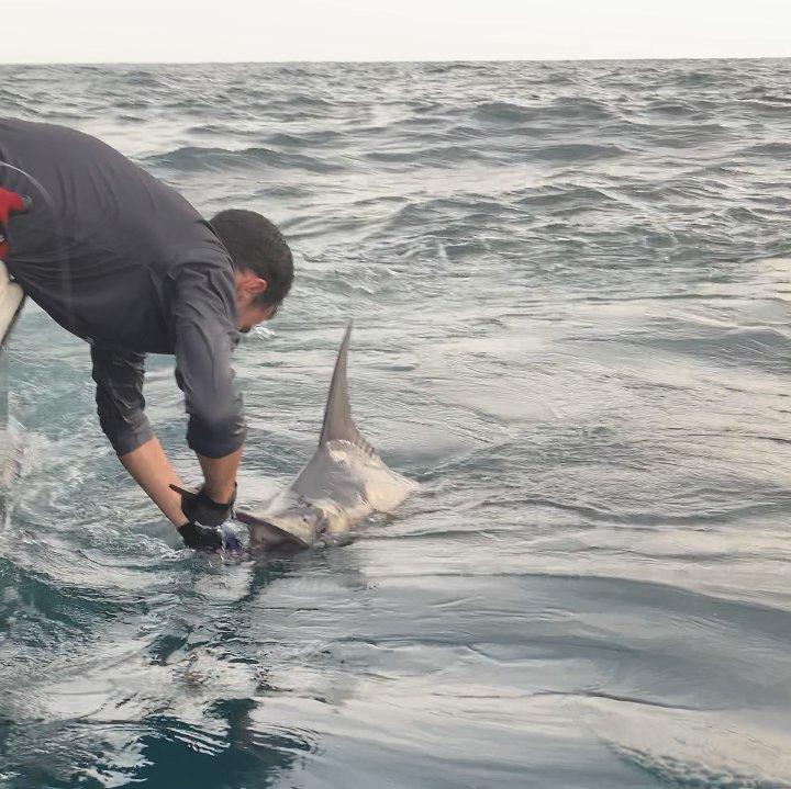 Fingers, Panama - Capt. Roberto Linares on La Tuca released a Blue Marlin.