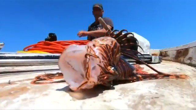 ICYMI: Marine biologists say warming waters resulting from global climate change are forcing the venomous lionfish to find a new home in the Mediterranean https://reut.rs/32owNEh via @ReutersTV