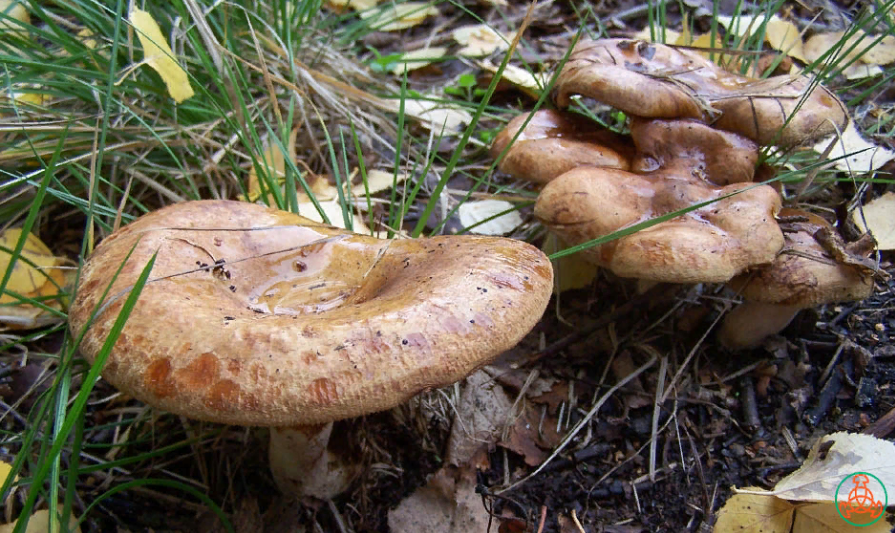 картинка коровника грибами цены инструмент для