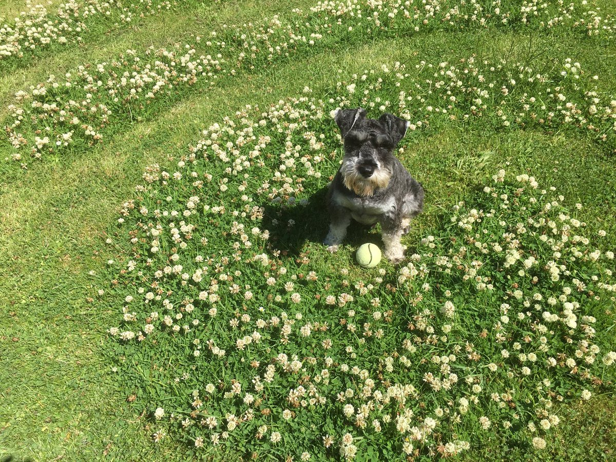 Wolfie in the clover in the garden at #HolyIsland #dogs #gardening Northumberland https://t.co/6hnMJcniyu