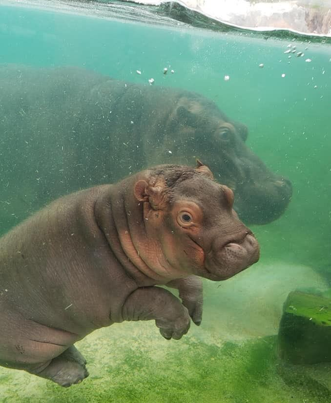 Check out little Adanna showing off for visitors at the Simmons Hippo Outpost!  #RiverHorseMonday    Zoologist Erin E.<br>http://pic.twitter.com/BDf7JWT4Wz