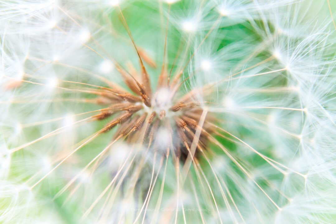 Weeds to some, captivating to others #macro_world #closeupshot #magicinthedetails #fineartphoto #dandelions #mygardenlife #peakerimagerympc #macrocloseup #getcloser #lookdown