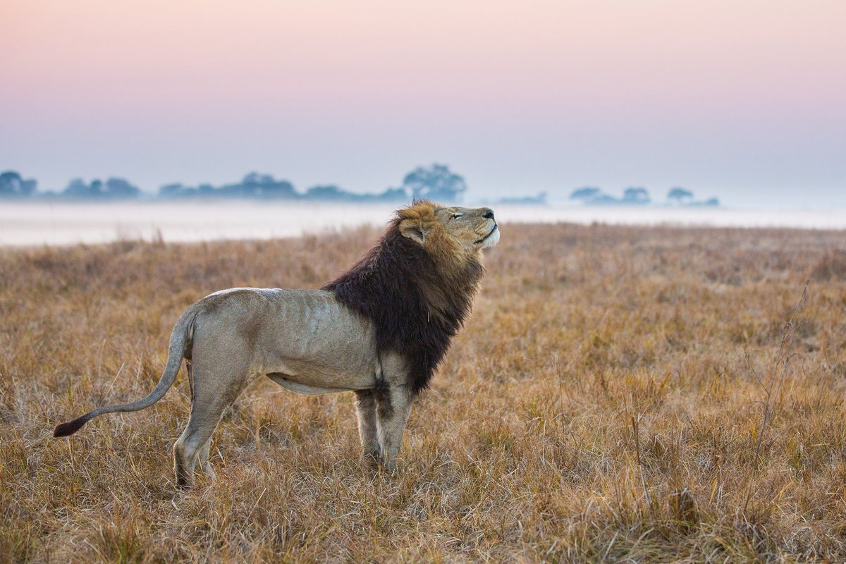 The king of the jungle #swaindestinations #zambia #wildlife #lion #africa #travel #adventuretravel #luxurytravel #instatravel #travelgram #insidertravel