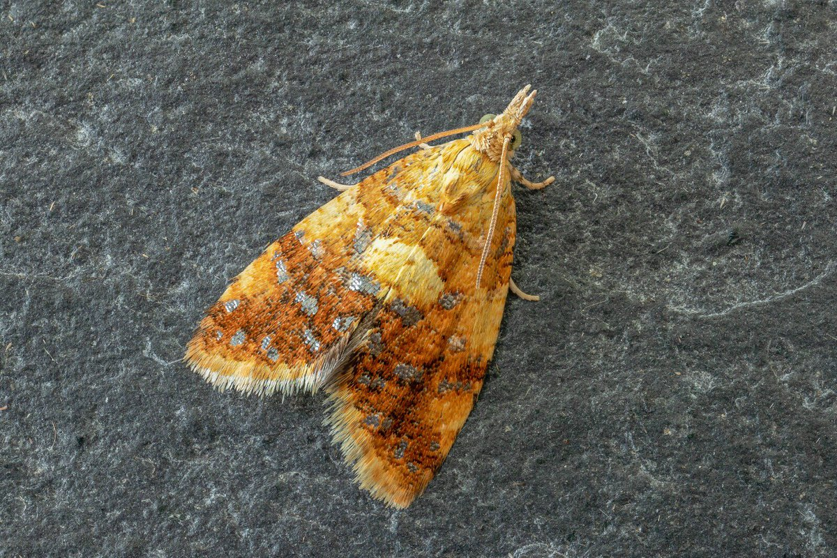 Pseudargyrotoza conwagana found in the garden last weekend #MothsMatter @savebutterflies @BC_Lincolnshire @britbutterflies @ukbutterflies @Britnatureguide<br>http://pic.twitter.com/fEiMU0A4Jm