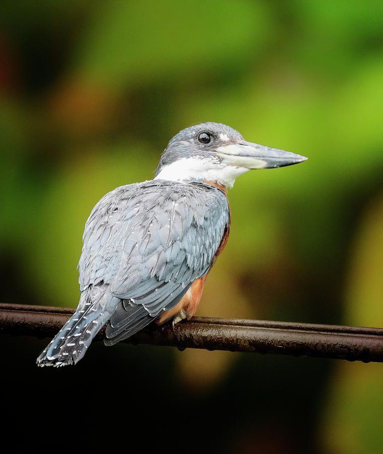 Ringed Kingfisher Costa Rica https://buff.ly/2liapIE #kingfisher #CostaRica #bird #tropical @joancarroll