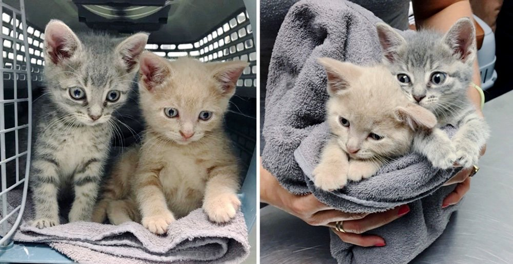 Kittens found wandering the streets together, never leave each other after they were rescued. See full story and updates: lovemeow.com/kittens-wander…