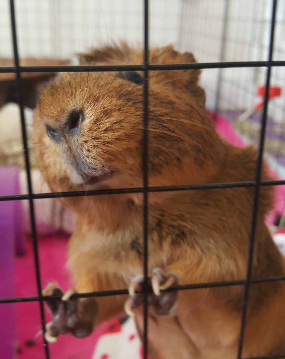 Can I have a shnack? #GuineapigAppreciationDay #guineapig<br>http://pic.twitter.com/2Ya7m75XYh